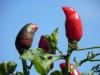Chilischote im Garten